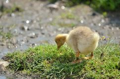 Goose baby isolated Stock Image