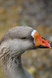 Goose background. Background goose bird animal cut royalty free stock image