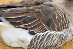 Goose background. Background goose bird animal cut stock photo