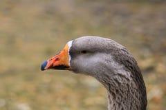 Goose background. Background goose bird animal cut stock photos