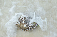 Goose barnacles or gooseneck barnacles were grow on coconut. Royalty Free Stock Photography