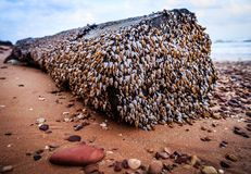 Goose barnacles. On the log stock photos