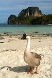Goose On The Beach royalty free stock photo