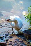 Goose on the beach. Large stones. goose on the lake Royalty Free Stock Photos