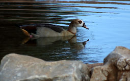 Goose. Beautiful goose swimming in a lake Stock Photography
