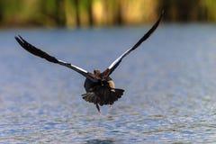 Goose Bird low flying Water stock images