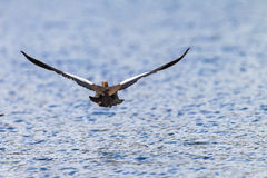 Goose Bird Low flying Water Royalty Free Stock Photos