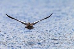 Goose Bird Low flying Water royalty free stock photos
