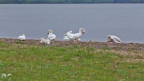 Goose bird riverbank river water rural stack stock video footage