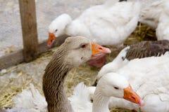 Goose bird white and brown in farmyard Stock Image