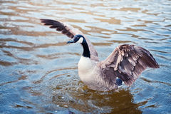 The Goose Stock Photography