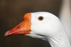 Goose With Blue Eyes Stock Photo
