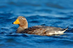 Goose in the blue water. Kelp goose, Chloephaga hybrida, is a member of the duck, goose. It can be found in the Southern part of S Stock Image