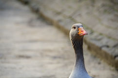 Goose. A goose with blur background royalty free stock image
