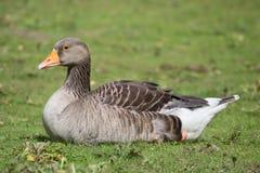 Goose Body Sitting Stock Photography