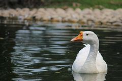 Goose on Body of Water Royalty Free Stock Photos
