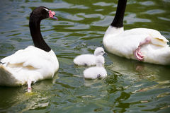 Goose breeding with her parents in a river Royalty Free Stock Image