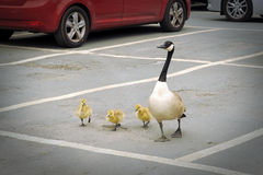 Goose brood on parking lot. Geese family crossing a car parking slot in town, taken in York, England Stock Images