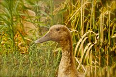 Goose brown Stock Images