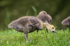 Goose Chick Eating Grass Stock Photo
