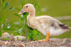 Goose Chick Stock Photography