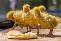 Goose chick. Royalty Free Stock Photo