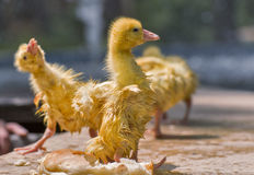 Goose chick. Stock Images