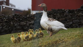 Goose chickens protected by mother. Spring feeling with goose chickens safely in the protection of mother goose in Torshavn Faroe Islands stock images