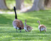 Goose with Chicks. Goose with baby geese walking upon the grass Stock Photography