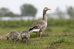Goose with chicks on a grassy slope in Arnhem Royalty Free Stock Photography