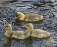 Goose chicks swim Royalty Free Stock Photo