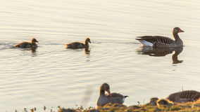 Goose and chicks swimming in water stock photography