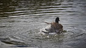 A goose cleaning feathers by splashing water all over. royalty free stock images