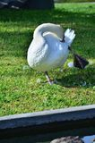 Goose cleaning itself. Photo of birds taken in sout america Royalty Free Stock Image
