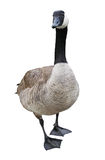 Goose with Clipping Path Royalty Free Stock Images