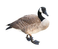 Goose with Clipping Path Royalty Free Stock Photos