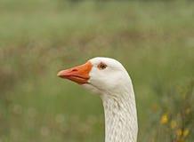 Goose close-up stock photo