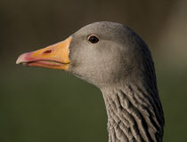 Goose Close-up Royalty Free Stock Photos