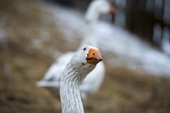 Goose close up portrait Stock Image