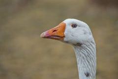 Goose close up portrait Stock Photography