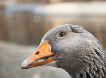 Goose close up view Stock Photography
