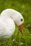 Goose closeup Royalty Free Stock Photos