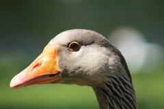 Goose closeup Stock Images