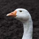 Goose closeup Stock Photos