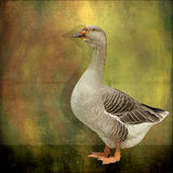 Goose on color texture Royalty Free Stock Image