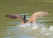 Goose. Coming in for a landing Stock Photography