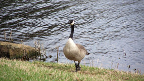 Goose coming into rest. Goose leaving the water to come rest Royalty Free Stock Images