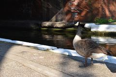 Canada Goose in London. A goose common in London is the Canada Goose. We spotted this one in Little Venice Stock Photos