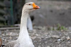 Goose on a country farm. On a cloudy spring day royalty free stock photography