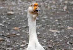Goose on a country farm. During the cloudy summer day stock images